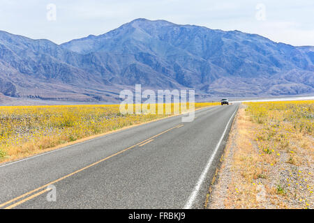 Super bloom of desert gold sunflowers (Geraea canescens) along Badwater road in Death Valley National Park, California. - Stock Photo