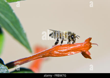 Bee resting on small flower - Stock Photo