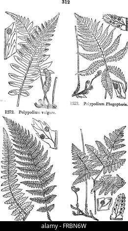 Illustrations of the British flora- a series of wood engravings, with dissections, of British plants (1880) - Stock Photo
