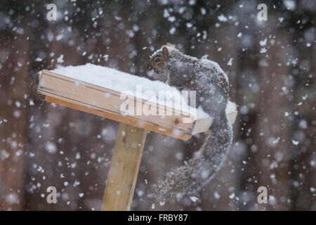 Grey Squirrel (Sciurus hudsonicus) in winter storm - Stock Photo