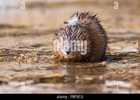 Muskrat (Ondatra zibethica) in spring - Stock Photo