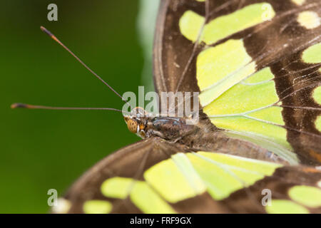 Siproeta Stelenes.  The Malachite Butterfly. - Stock Photo