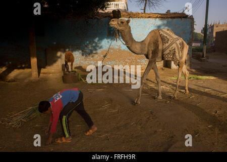 Mustafa, a young Egyptian brings soft sugarcane branches for horses and camels at the Pharaohs Stable, a business - Stock Photo