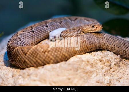Western Diamondback Rattlesnake or Texas Diamondback (Crotalus atrox) a venomous rattlesnake species found in southwestern - Stock Photo