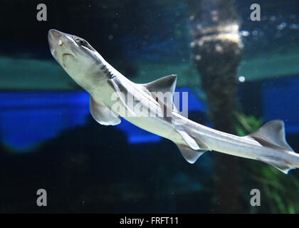 A young houndshark swimming in a large aquarium at the AquaDom and Sea Life Berlin, Germany, 22 March 2016. The - Stock Photo
