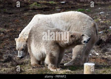 Kincraig, Scotland, United Kingdom, 22, March, 2016. Polar bears Arktos (L) and Victoria (R) are introduced to each - Stock Photo