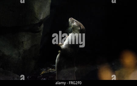 Gijon, Spain. 22nd March, 2016. European Otter (Lutra Lutra) at Aquarium of Gijon World Water Day on March 22, 2016 - Stock Photo