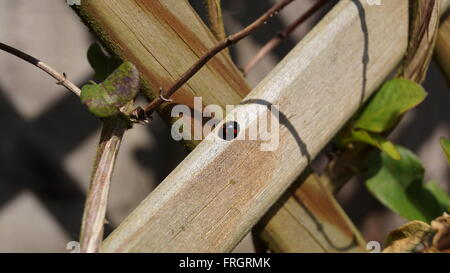 Black with red spots ladybird on wooden fence - Stock Photo