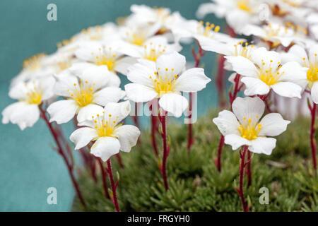 Saxifraga burseriana White flowers - Stock Photo