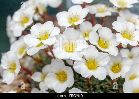 Saxifraga burseriana 'Brookside' White flowers - Stock Photo