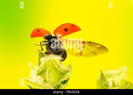 7 spot ladybird flying off a wild plant - Stock Photo