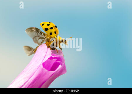 A 22 spot ladybird about to fly off - Stock Photo