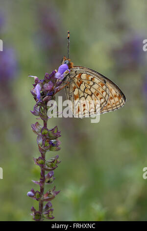 Niobe Fritillary, Argynnis niobe - Stock Photo