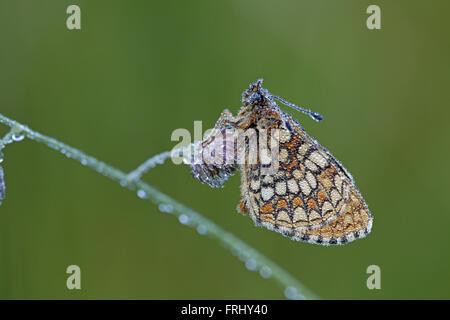 Heath Fritillary, Melitaea athalia, at dawn, covered in dewdrops - Stock Photo