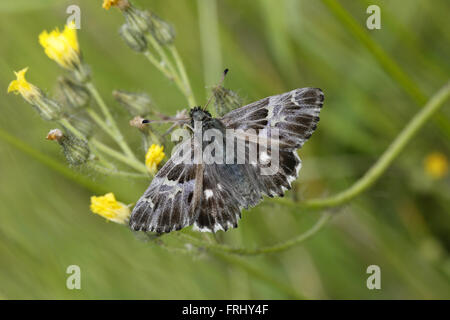Tufted Marbled Skipper, Carcharodus flocciferus - Stock Photo