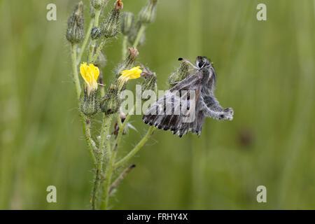 Tufted Marbled Skipper, Carcharodus flocciferus - Stock Photo