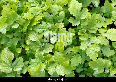 Mustard plants growing, sinapis alba, Brassica Alba or Brassica Hirta, grown for seed or leaves used as a cooking - Stock Photo
