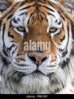 Female Amur (Siberian) tiger (extreme close-up) - Stock Photo