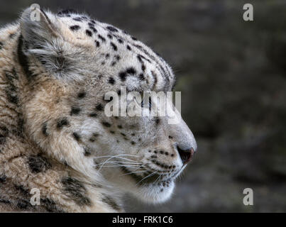 Female snow leopard (profile) - Stock Photo