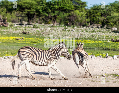 Two wild Burchell's Zebras, Equus quagga burchellii, chasing; Etosha National Park, Namibia, southern Africa. - Stock Photo