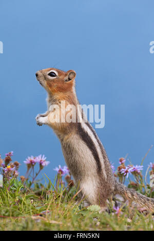 Golden-mantled ground squirrel (Callospermophilus lateralis) standing upright, native to western North America - Stock Photo