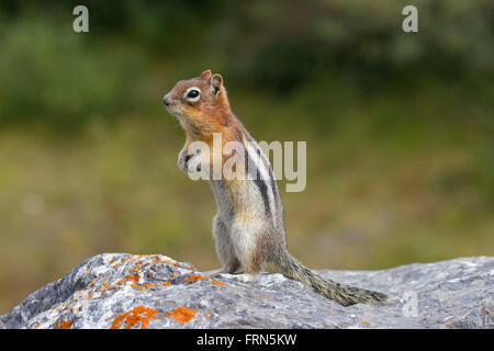 Golden-mantled ground squirrel (Callospermophilus lateralis) standing upright on rock, native to western North America - Stock Photo