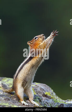 Golden-mantled ground squirrel (Callospermophilus lateralis) standing upright on rock begging for food and reaching - Stock Photo
