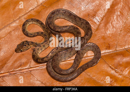 Cat snake, Boiga sp., Colubridae, Coorg, Karnataka, India - Stock Photo