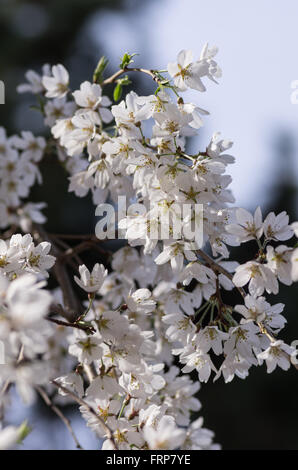 Cherry blossoms at Kyoto Imperial Palace - Stock Photo