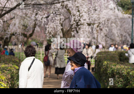 Cherry Blossoms at Kyoto Imperial Palace Gardens - Stock Photo
