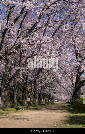 Asahi River Cherry Road with Cherry Blossoms in full bloom, Okayama, Japan - Stock Photo