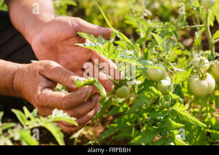 Farming and cultivations in Latin America. Middle aged hispanic farmer in a tomato field, showing a bug that affects - Stock Photo