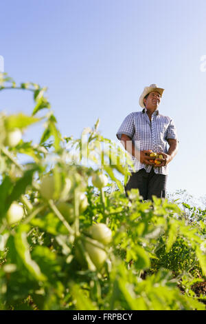 Farming and cultivations in Latin America. Middle aged hispanic farmer standing proud in tomato field, holding some - Stock Photo
