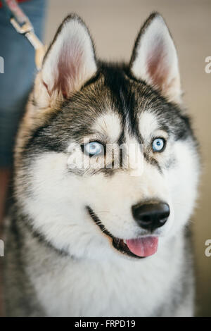 Close up blue-eyed Gray Adult Siberian Husky Dog - Stock Photo