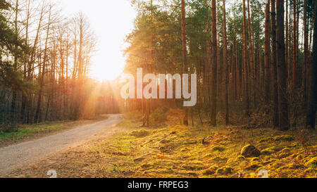 Sun shining over road, path, walkway through forest. Sunset Sunrise In Autumn Coniferous Forest Trees. Panorama - Stock Photo