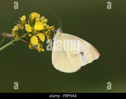 European Small Cabbage White butterfly (Pieris Rapae) feeding on rapeseed flower - Stock Photo