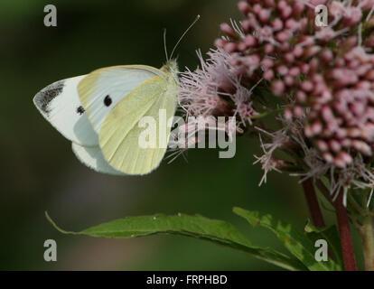 European Small Cabbage White butterfly (Pieris Rapae) feeding on hemp agrimony flowers - Stock Photo