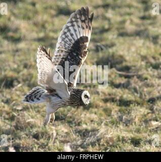 Eurasian Short-eared owl (Asio flammeus) taking off into flight while hunting - Stock Photo