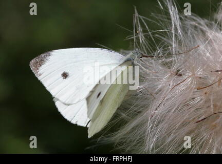 Male European Small Cabbage White butterfly (Pieris Rapae) - Stock Photo