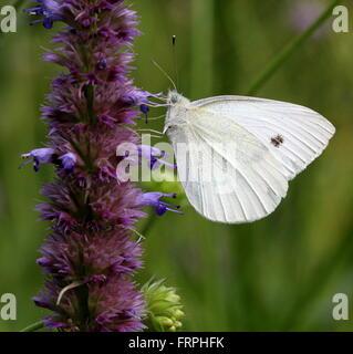 European Small Cabbage White butterfly (Pieris Rapae) feeding, seen in profile - Stock Photo