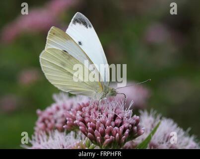 Female European Small Cabbage White butterfly (Pieris Rapae) feeding on a hemp agrimony flower - Stock Photo