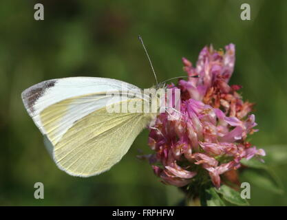 European Small Cabbage White butterfly (Pieris Rapae) feeding on a red clover flower - Stock Photo