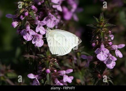 European Small Cabbage White butterfly (Pieris Rapae) - Stock Photo