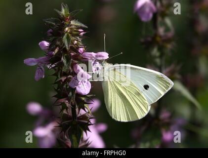 European Small Cabbage White butterfly (Pieris Rapae) feeding on a purple flower - Stock Photo