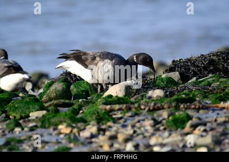 Brent goose Branta bernicla feeding on seaweed Tywi Estuary Carmarthenshire - Stock Photo