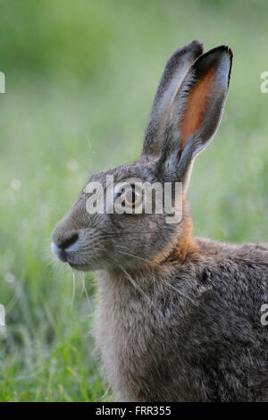 Brown Hare / European Hare / Feldhase ( Lepus europaeus ), sitting in grass, close up, headshot, portrait. - Stock Photo