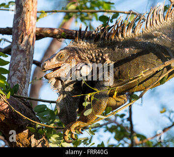 OSA PENINSULA, COSTA RICA - Male green iguana in tree, in rain forest - Stock Photo