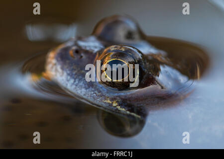 European common frog (Rana temporaria) close up  of head among frogspawn in pond - Stock Photo