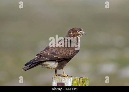 Common buzzard (Buteo buteo) perched on wooden fence post along grassland - Stock Photo