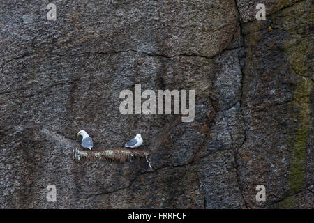 Black-legged kittiwake (Rissa tridactyla) pair nesting on narrow rock ledge in cliff face at breeding colony, Lofoten, - Stock Photo